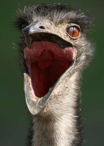 Emu_Schreihals