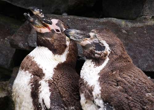 Jugendliche Humboldt-Pinguine