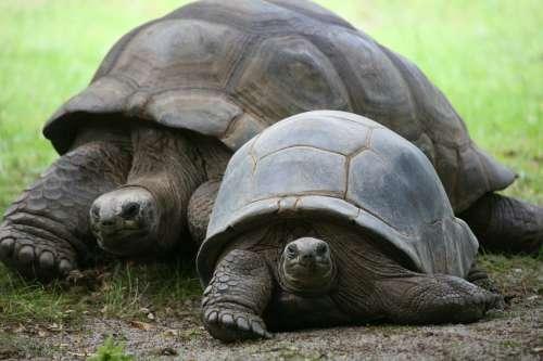 Diese Schildkröten dürfen in Bourbon nicht rennen.