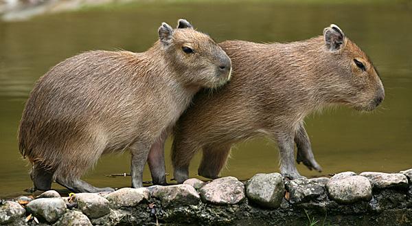 Wasserschweine (Jungtiere) - Foto: © Martina Berg