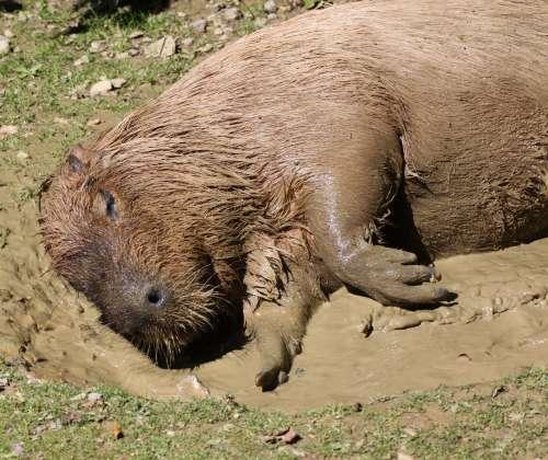 Waserschweine lieben ausgiebige Schlammbäder!