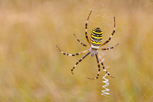 Zickzackband im Netz einer Wespenspinne - Foto: © schnabi - Fotolia.com