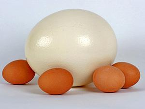 Straussenei, umringt von Hühnereier