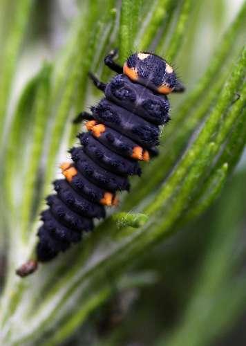 Marienkäferlarve, etwa dreimal so groß wie der fertige Käfer | Foto: © Martina Berg