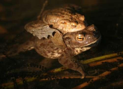 Wird nicht ganz so groß wie ein Goliathfrosch: unsere heimische Erdkröte (Weibchen werden bis zu 12 cm lang, Männchen etwa 9 cm)