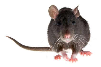 Ratten Jährlich 1000 Nachkommen Kuriose Tierwelt