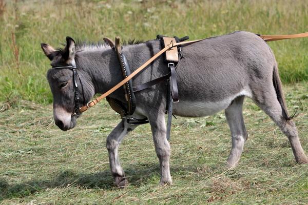 Esel als Zugtier - Foto: © Martina Berg