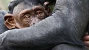 Schimpanse_Jungtier_20