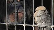 Aler Schimpanse in einem Käfig