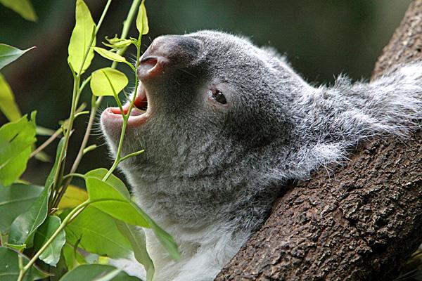 Fressender Koala