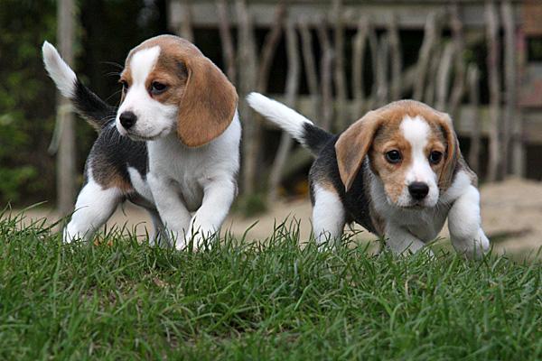 Zwei Beagle-Welpen - Foto: © Martina Berg