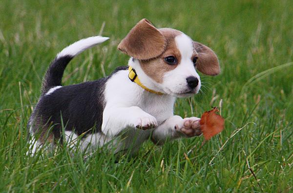 Verspielter Beagle-Welpe - Foto: © Martina Berg