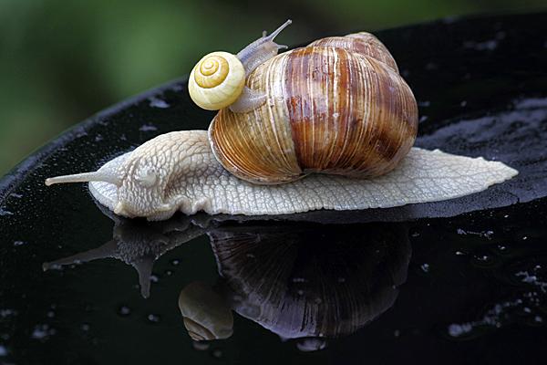 Bänderschnecke auf Weinbergschnecke - Foto: © Martina Berg