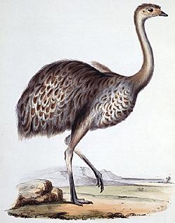 Darwin-Nandu