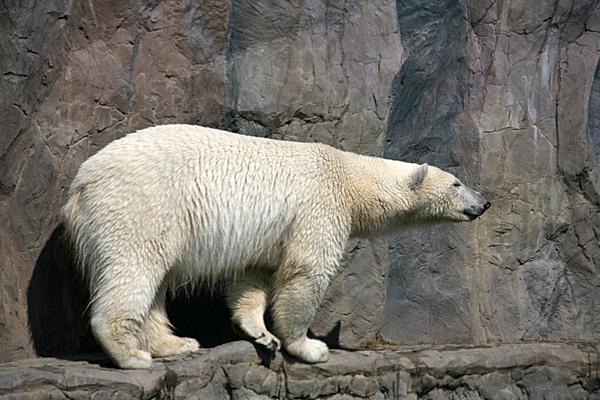 Eisbär | Foto: © Martina Berg