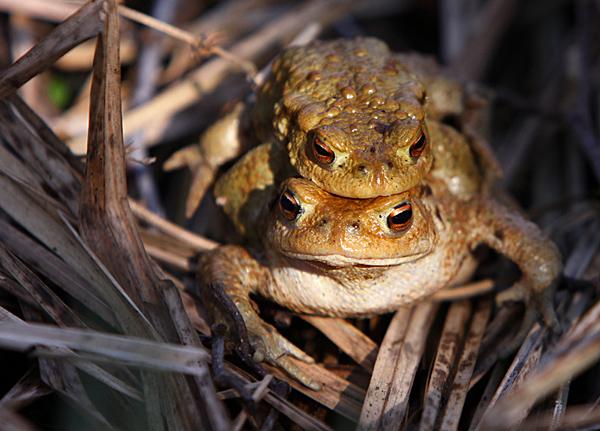 Erdkröten | Foto: © Martina Berg