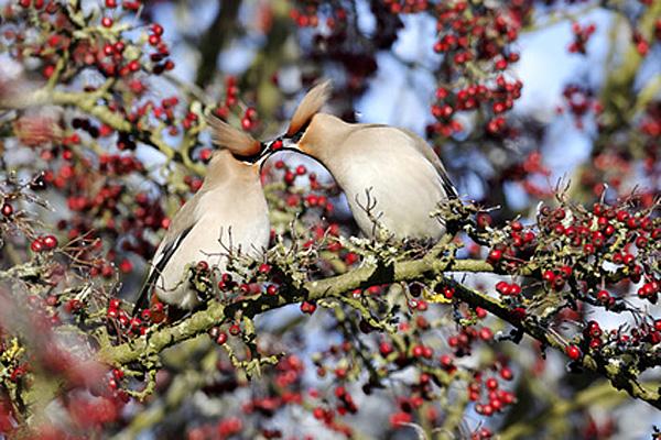 Seidenschwänze | Foto: © Erni - Fotolia.com