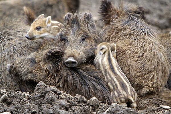 Wildschweinfamilie | Foto: © Martina Berg