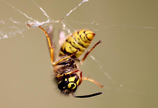 Tote Wespe in einem Spinnennetz