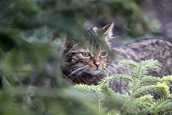 Wildkatze | Foto: © Martina Berg