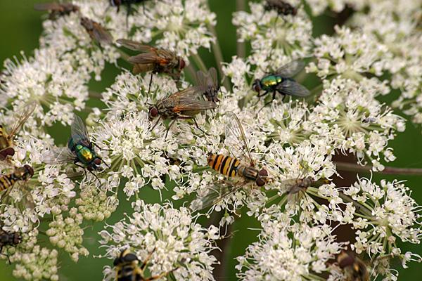 Insektentreff auf einer Blütendolde | Foto: © Martina Berg