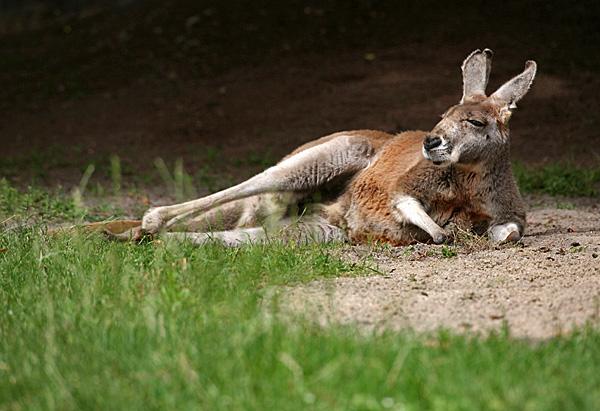 Rotes Riesenkänguru - Foto: © Martina Berg