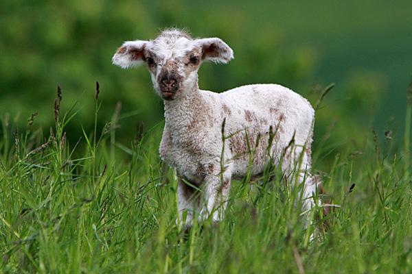 Schon nach rund 150 Tagen auf der Welt: ein Lamm - Foto: © Martina Berg