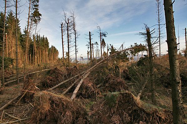 Windbruch in einem Fichtenwald - Foto: © Martina Berg