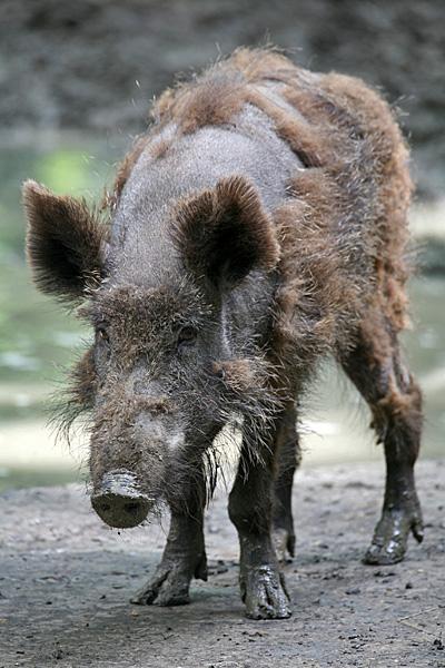 Wildschwein im Haarwechsel | Foto: © Martina Berg