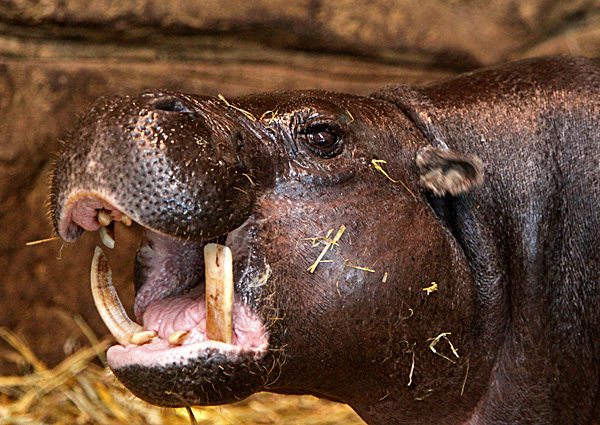 Zwergflußpferd - Foto: © Martina Berg