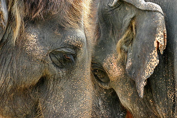 Zwei Elefanten Kopf an Kopf - Foto: © Martina Berg