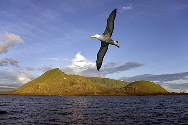 Fliegender Albatros - Foto: © mrallen - Fotolia.com
