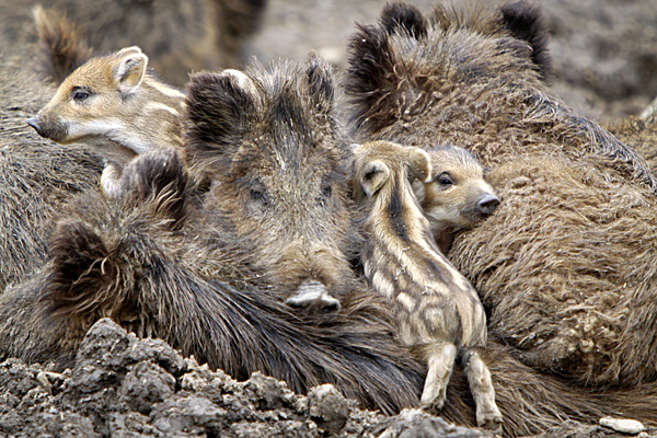 Wildschwein-Großfamilie - Foto: © Martina Berg