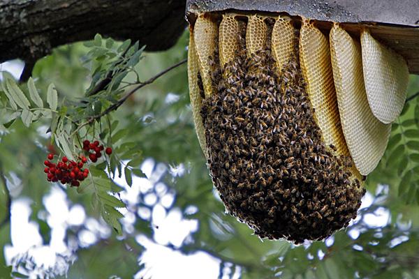 Bienenschwarm - Foto: © Martina Berg