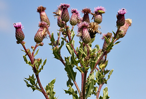Ackerkratzdistel (Cirsium arvense) - Foto: © Martina Berg