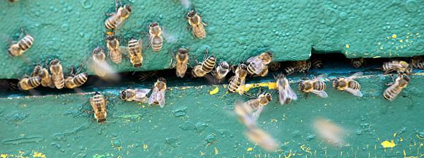 Bienen am Einflugloch - Foto: © Martina Berg