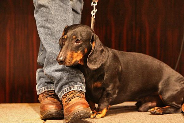 Dackel bei einer Hundevorführung - Foto: © Martina Berg