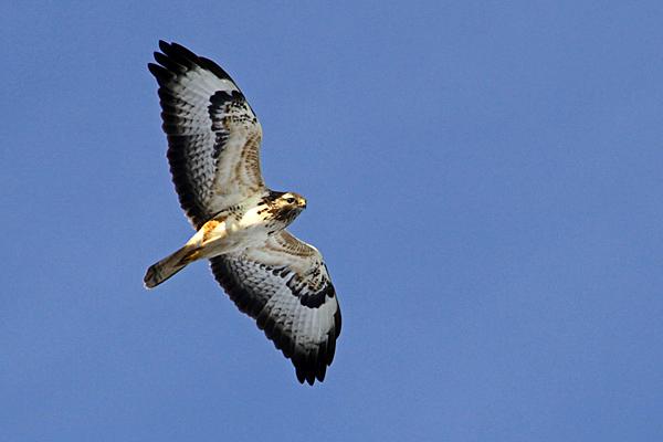 Fliegender Mäusebussard - Foto: © Martina Berg