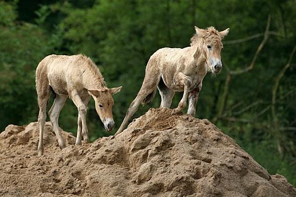 Przewalski-Pferde (Fohlen) - Foto: © Martina Berg