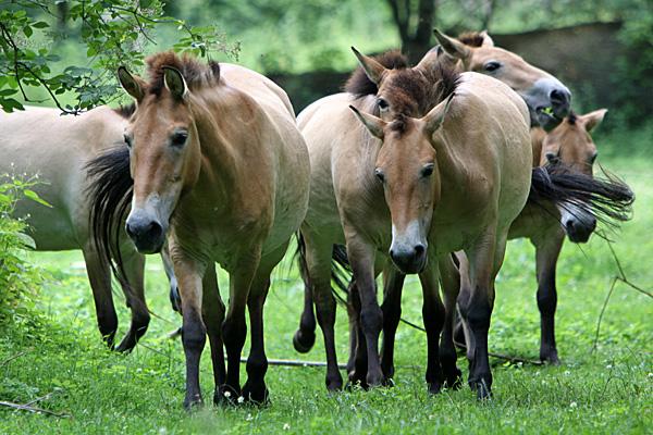 Przewalski-Pferde - Foto: © Martina Berg