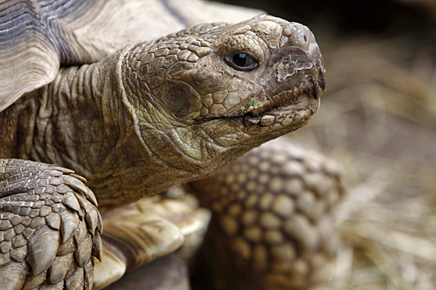 Spornschildkröte - Foto: © Martina Berg