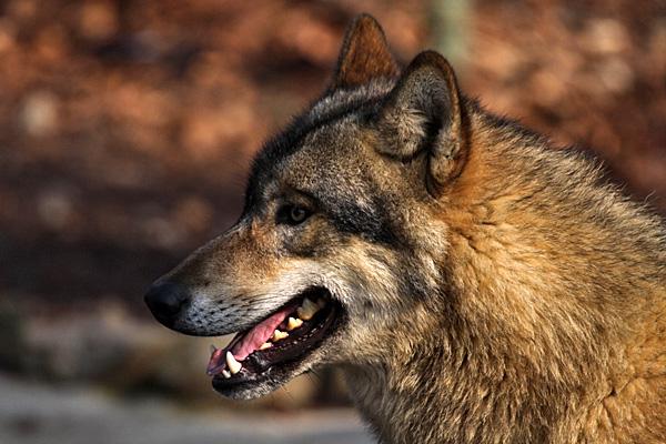 Wolf - Foto: © Martina Berg