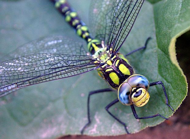 Ein besonders schnelles Insekt: die Blaugrüne Mosaikjungfer - Foto: © Martina Berg