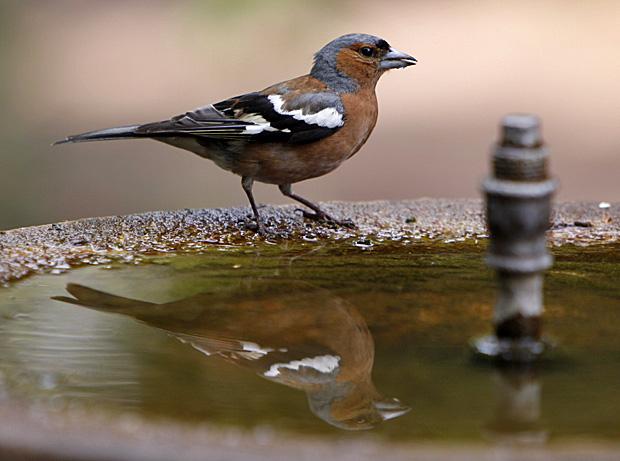 Buchfink an einer Vogeltränke - Foto: © Martina Berg