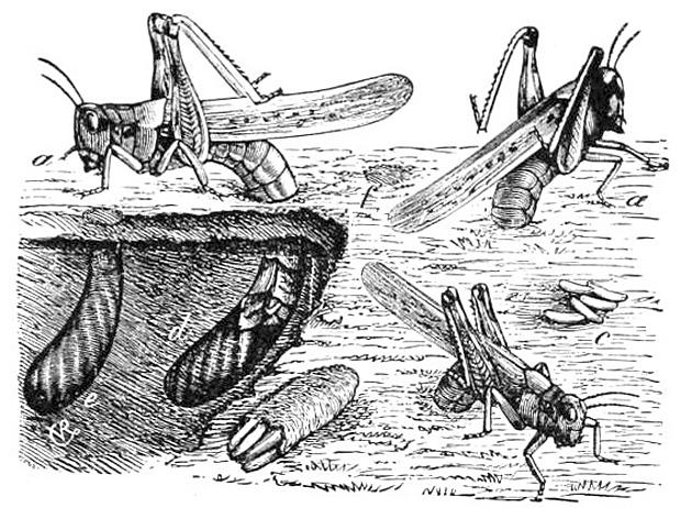 Lebenszyklus der Felsengebirgsschrecke