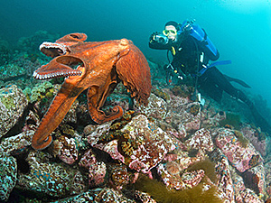 giant octopus dofleini and diver