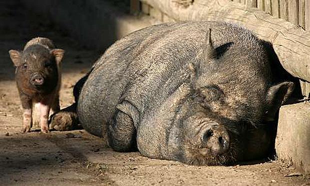 Haengebauchschweine_18