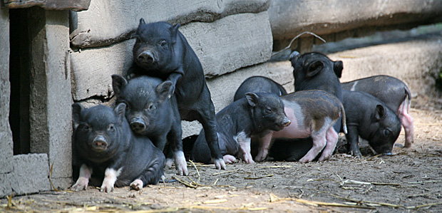 Schweinische Geschwister - Foto: © Martina Berg