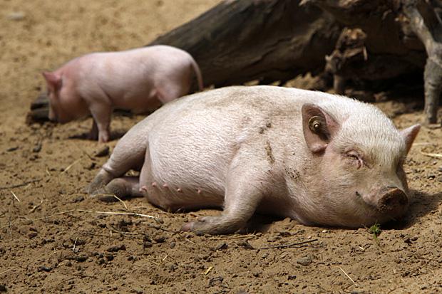 Diesem Schwein geht es saugut - Foto: © Martina Berg
