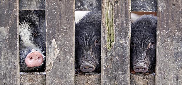 Minischweine hinter einem Zaun - Foto: © Martina Berg